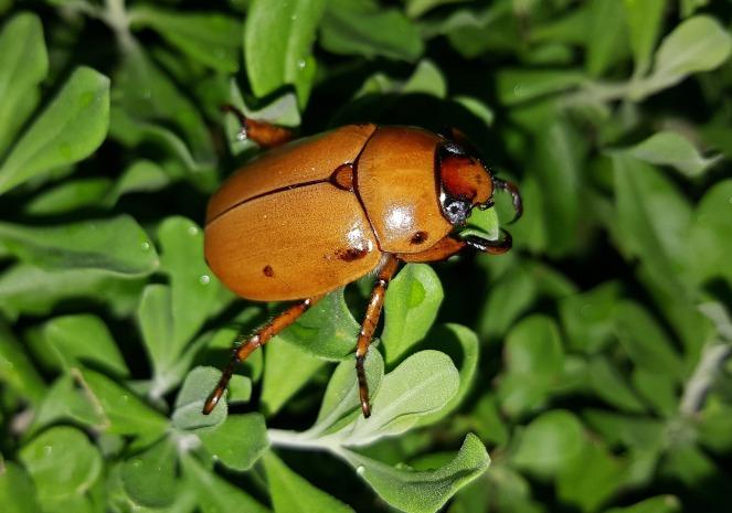 beetle-1435116_1920