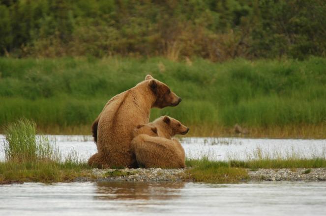 bears-2035489_1920