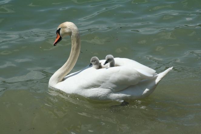 swan-2121797_1920