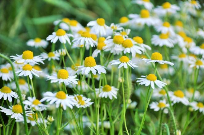 daisies-1271876_1920