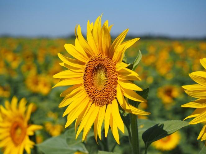 sun-flower-1521864_1920