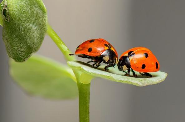 ladybugs-1593406_1920