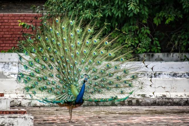 peacock-2505589_1920