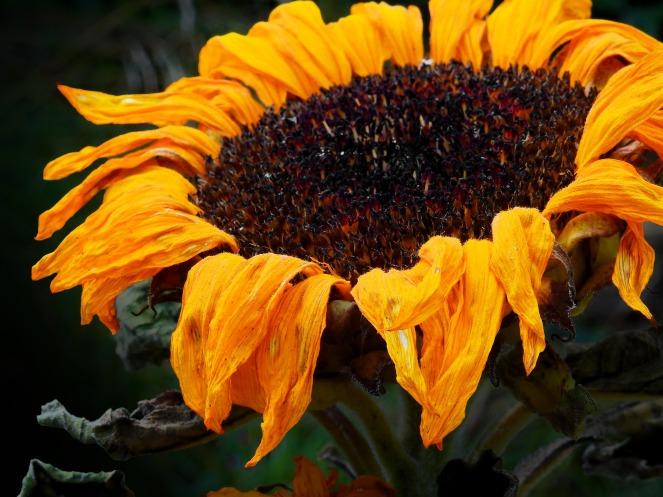 sun-flower-1592896_1920
