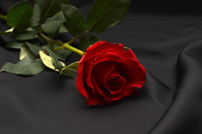 rose-1231354_1920