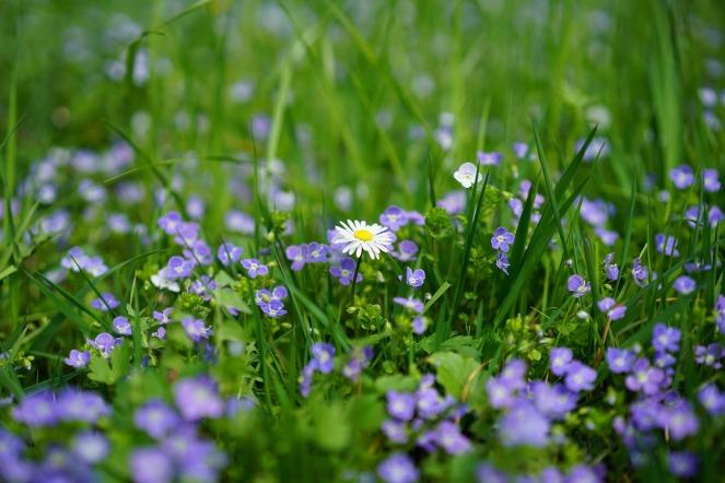 daisy-3102512_1920(1)