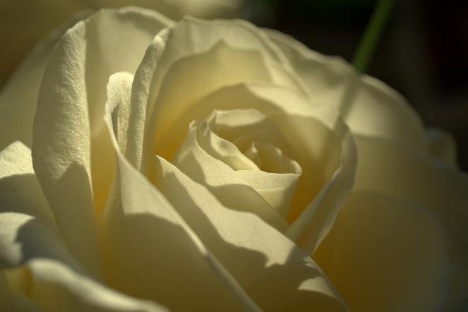rose-4009978_1920