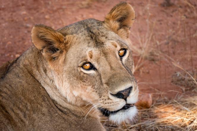 lioness-4074897_1920