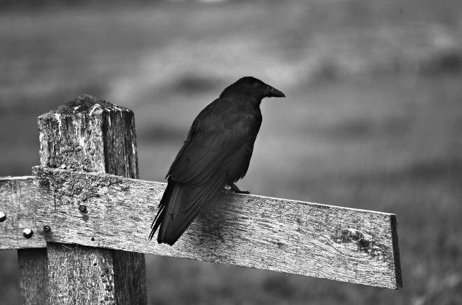 black-crow-3980261_1920